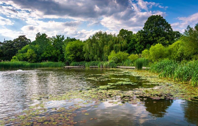 Пусковые площадки лилии в пруде на Patterson паркуют в Балтиморе, Мэриленде стоковые изображения