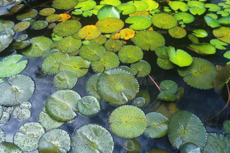 Пусковые площадки лилии в саде, Майами, FL стоковые фотографии rf