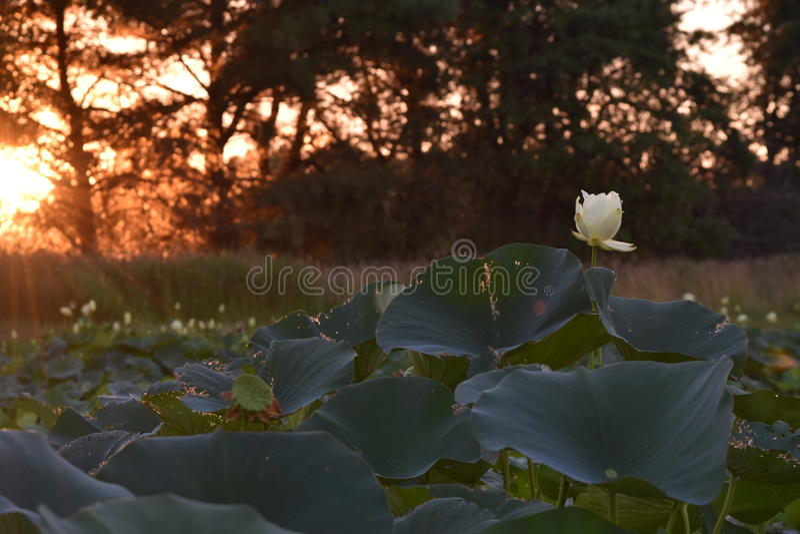 Пусковые площадки лилии на пруде на заходе солнца стоковые фото