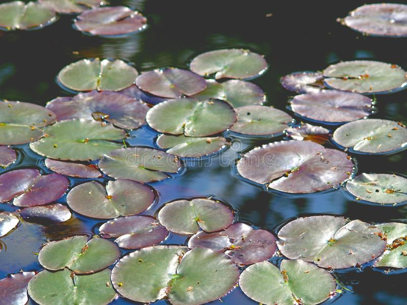 Download Пусковые площадки лилии стоковое фото. изображение насчитывающей still - 40587744