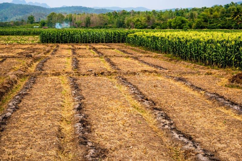 Пустая обрабатываемая площадь с частью кукурузного поля в цветени в сельской местности Чиангмая, Таиланда стоковое изображение rf