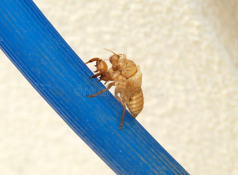 Пустая раковина цикады покинутая после metamorphosi стоковые изображения