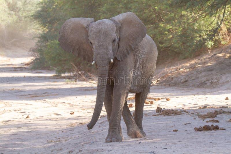 Пустыни и природа слона пустыни в национальных парках стоковое изображение rf