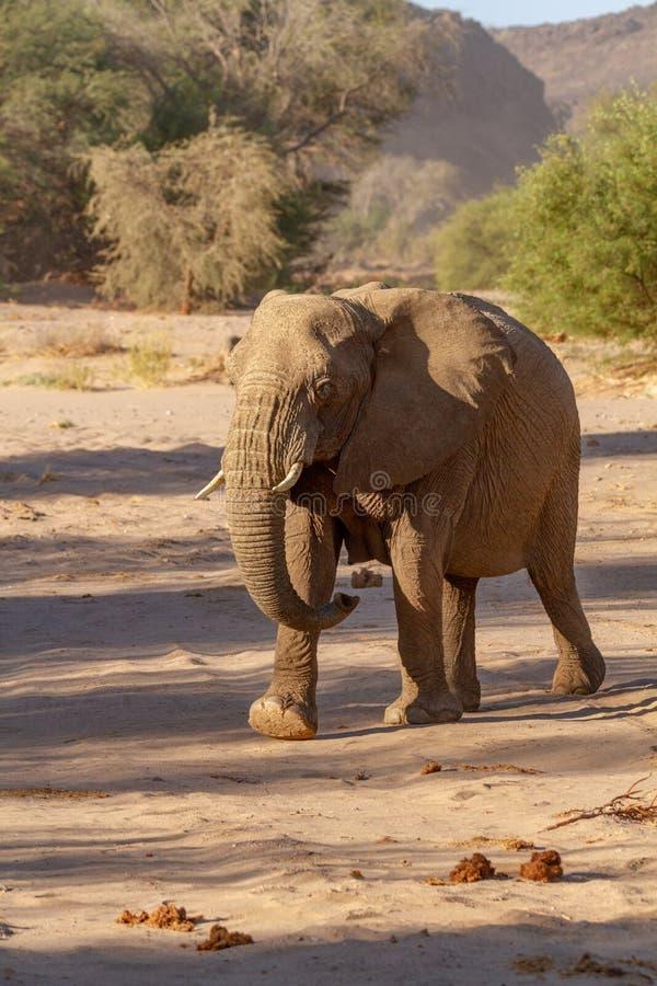 Пустыни и природа слона пустыни в национальных парках стоковое фото