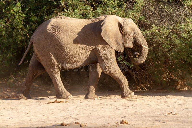 Пустыни и природа слона пустыни в национальных парках стоковые фотографии rf
