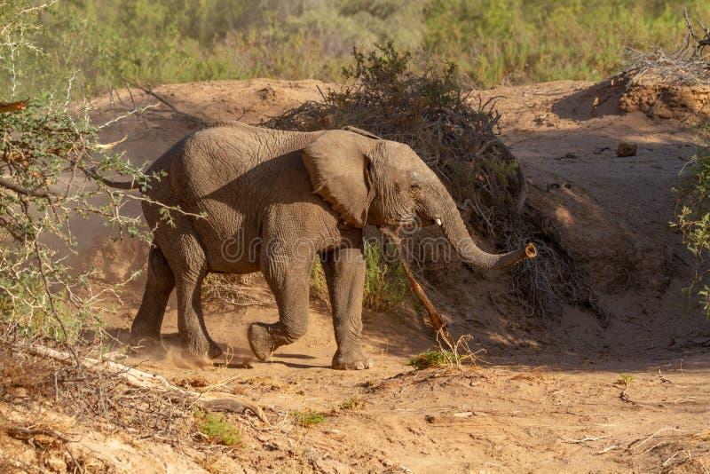 Пустыни и природа слона пустыни в национальных парках стоковое изображение