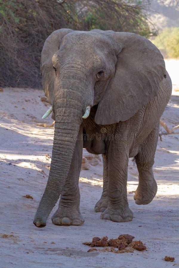 Пустыни и природа слона пустыни в национальных парках стоковые изображения rf