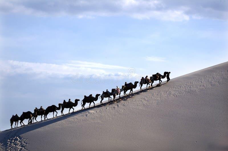 пустыня верблюда стоковые фото