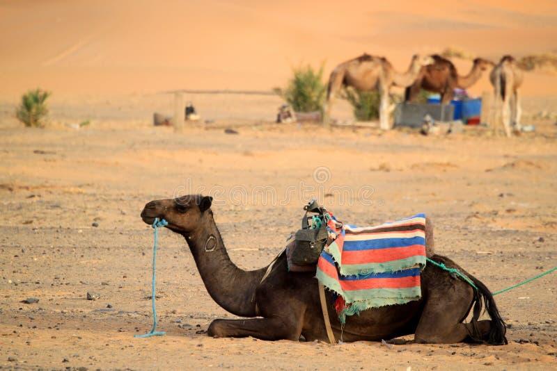 пустыня верблюда стоковое фото