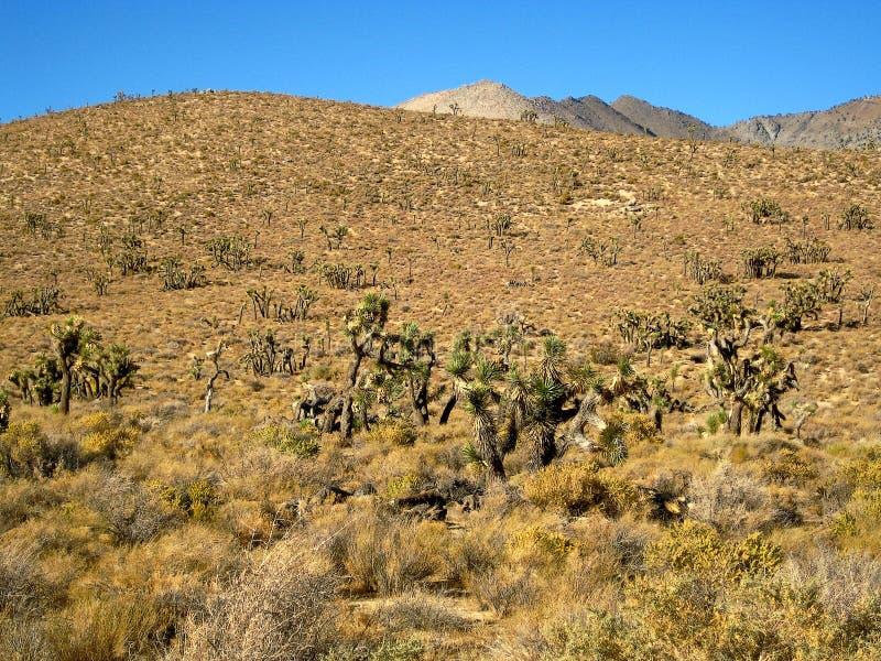 Пустыня дерева Иешуа в Калифорнии стоковые фотографии rf