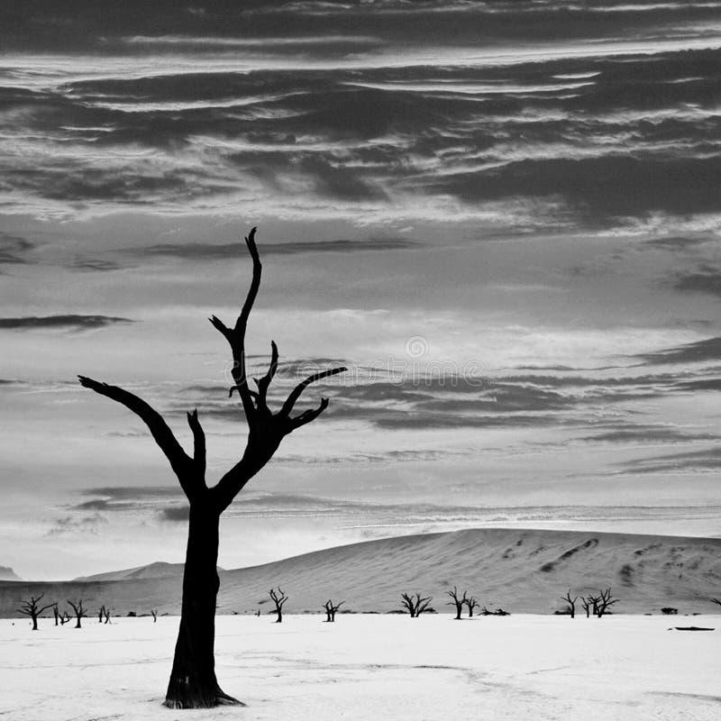Пустыня и деревья Намибии на заходе солнца в monochrome стоковая фотография rf