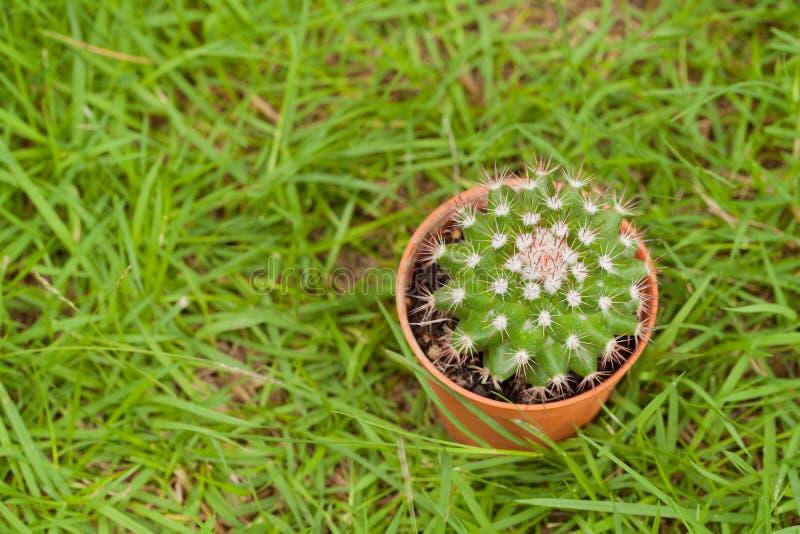 Пустыня кактуса кладя на траву стоковая фотография rf
