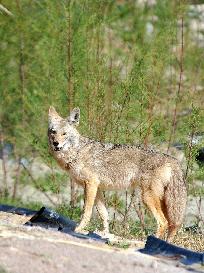 Download пустыня койота стоковое изображение. изображение насчитывающей охотник - 85249