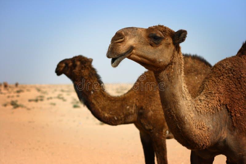 пустыня Кувейт верблюдов стоковые изображения