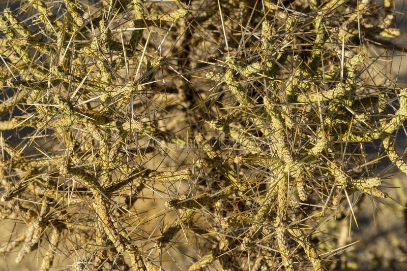 Пустыня Мохаве, терновый кустарник, конец вверх по взгляду стоковое изображение rf