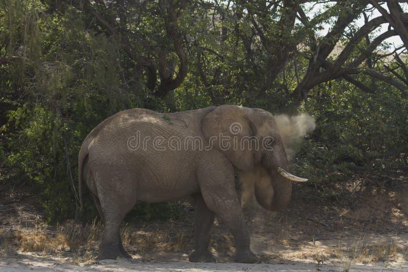 Пустыня приспособила слона Bull стоковое фото