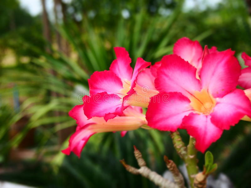 Пустыня Роза стоковое фото rf