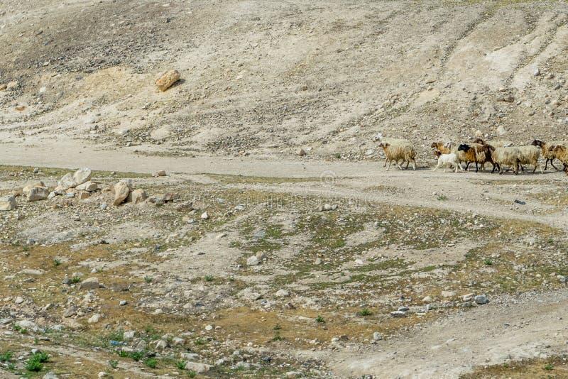 Пустыня с овцами стоковая фотография