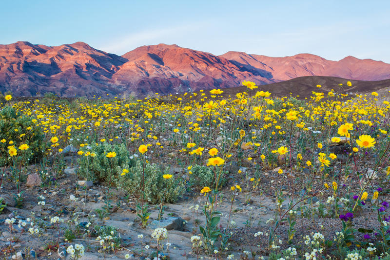 пустыня california borrego anza цветет wildflowers положения парка одичалые стоковая фотография