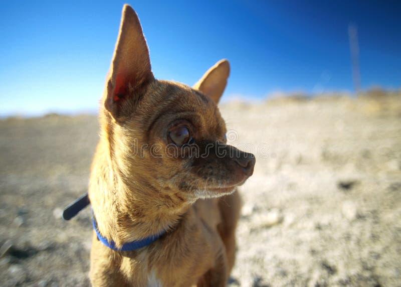 пустыня chihuaua стоковые фото
