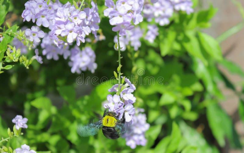 Путайте пчела опыляет стоковые изображения rf