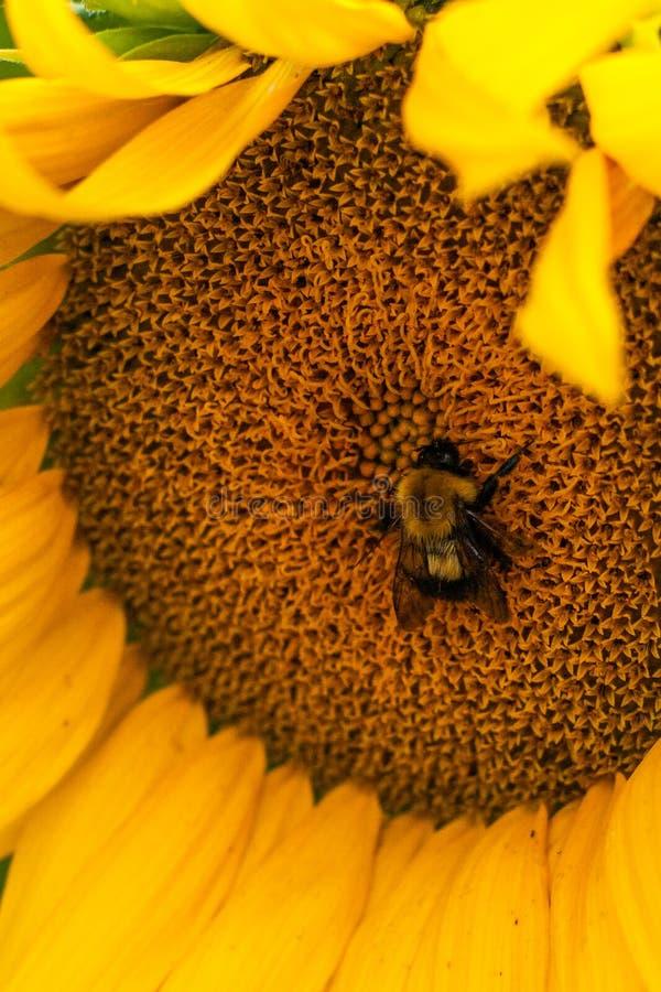 Путать путает пчела и большой желтый солнцецвет стоковые фотографии rf
