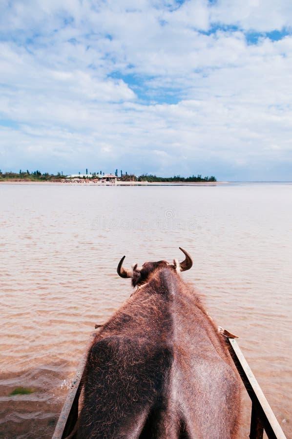 Путешествие тележки Baffalo на пляже на Iriomote, Окинаве, Японии стоковые фото