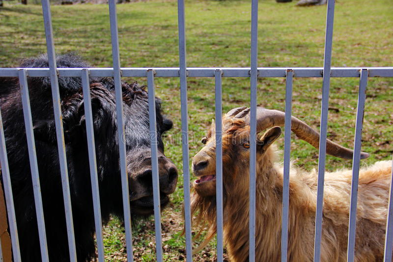 путешествие черных яков и одичалой козы стоковое изображение rf