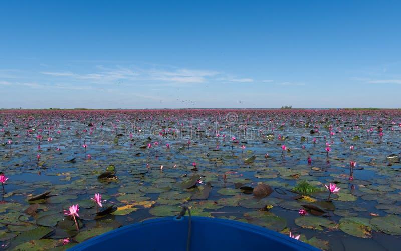 Путешествовать шлюпкой в розовом поле лотоса стоковые фото