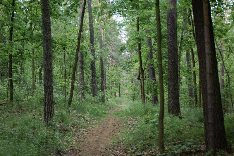 Путь внутри лесных деревьев стоковые изображения rf