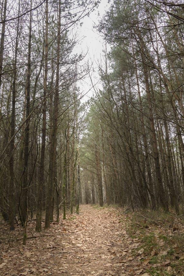 Путь водя через сосновый лес давая один и темный ландшафт чувства стоковое изображение rf