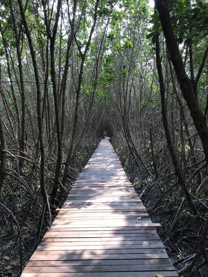 Путь в лесе мангровы стоковое изображение rf