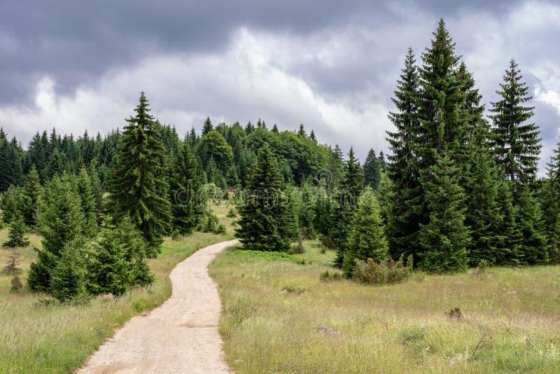 Путь в природе Национальный парк Тара Ландшафт леса сосен стоковое изображение