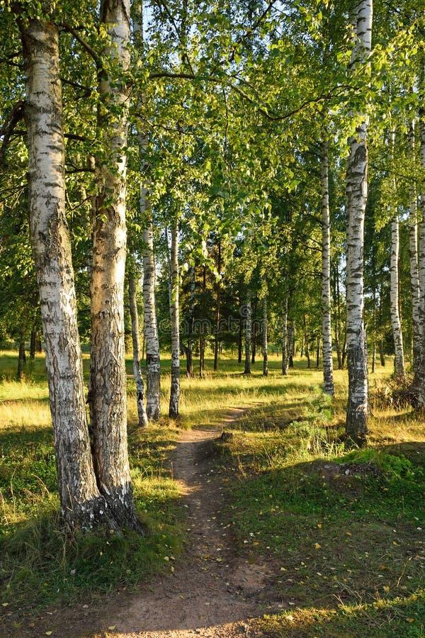 Путь в роще березы на банках реки Oredezh в деревне летнего дня Vyritsa солнечного стоковое изображение