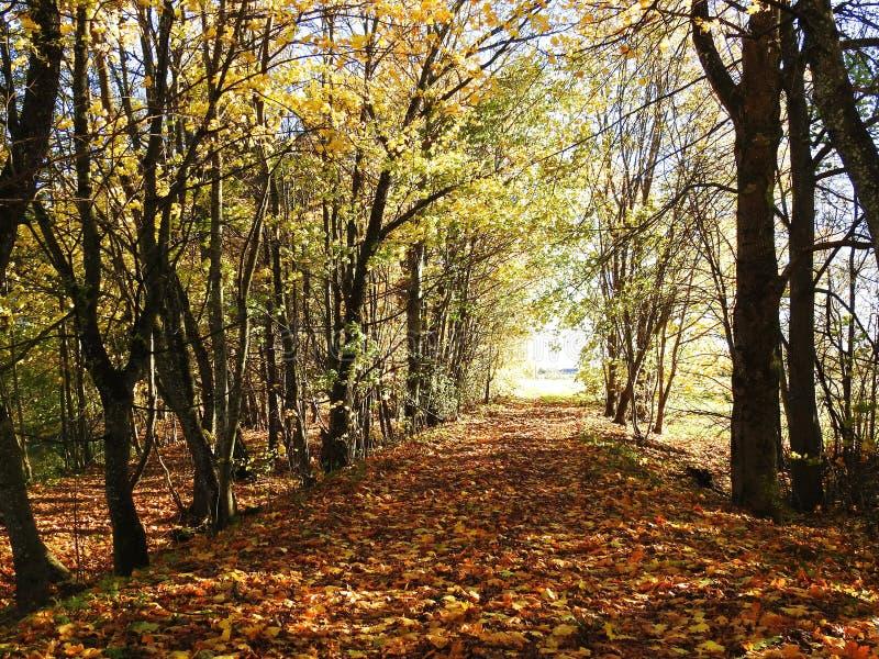 Путь и золотое дерево осенью, Литва стоковые изображения