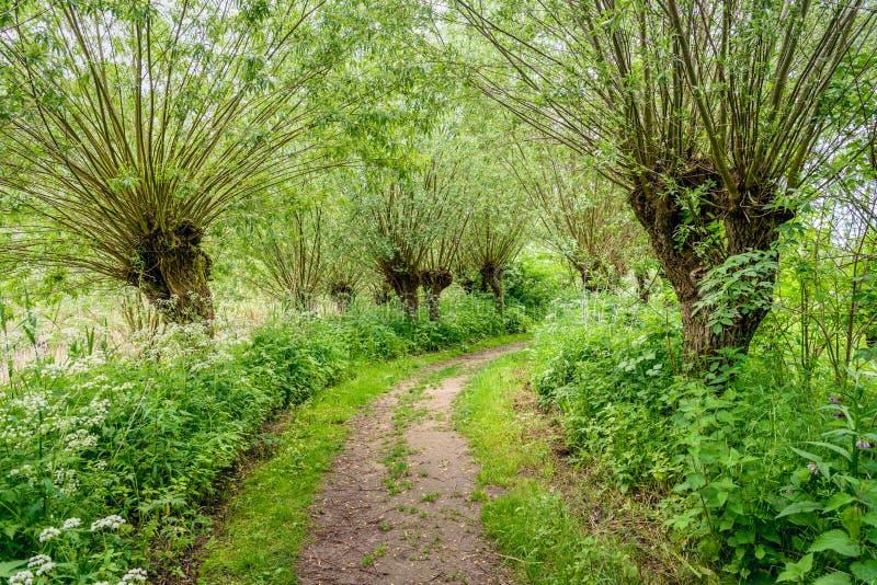 Путь между деревьями вербы Полларда в весеннем времени стоковые изображения
