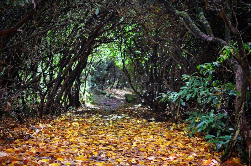 Путь осени через запутанные рододендроны с фокусом на желтых листьях стоковые изображения