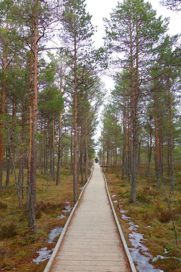 Путь променада через область заболоченных мест в предыдущей весне Променад в следе природы трясины Viru эстония Променад трясины  стоковое изображение