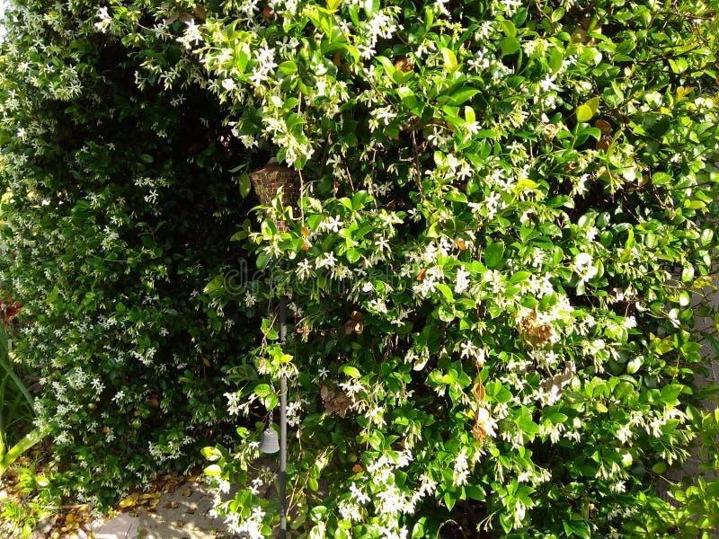 путь свода белой цветя лозы жасмина стоковая фотография rf