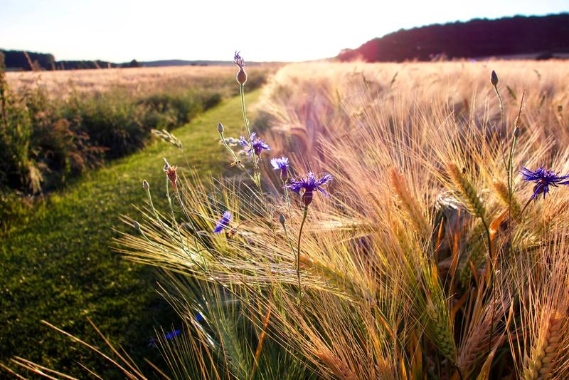 Путь с dainty фиолетовыми wildflowers стоковое фото