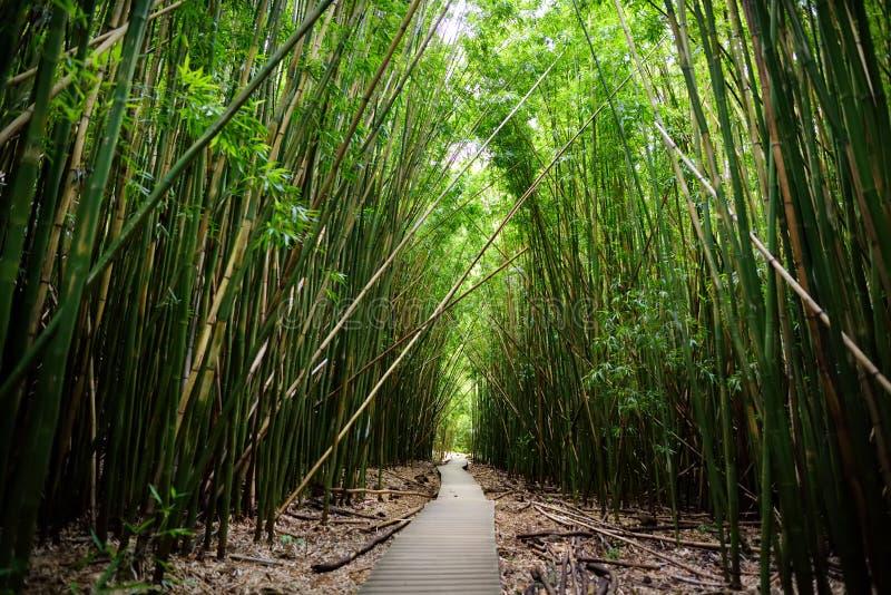 Путь через плотный бамбуковый лес, водя к известному Waimoku падает Популярный след Pipiwai в национальном парке Haleakala на Мау стоковая фотография