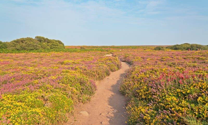Путь Sandy через поле желтых и фиолетовых цветков Накидка Frehel brittani стоковая фотография rf