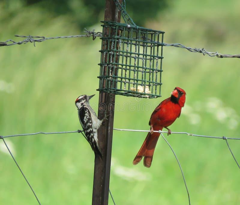 Пуховые Woodpecker и кардинал на загородке металла стоковые изображения