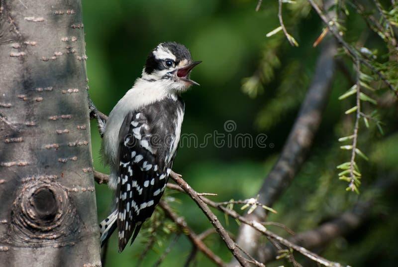 пуховый woodpecker зелёного юнца стоковые изображения rf