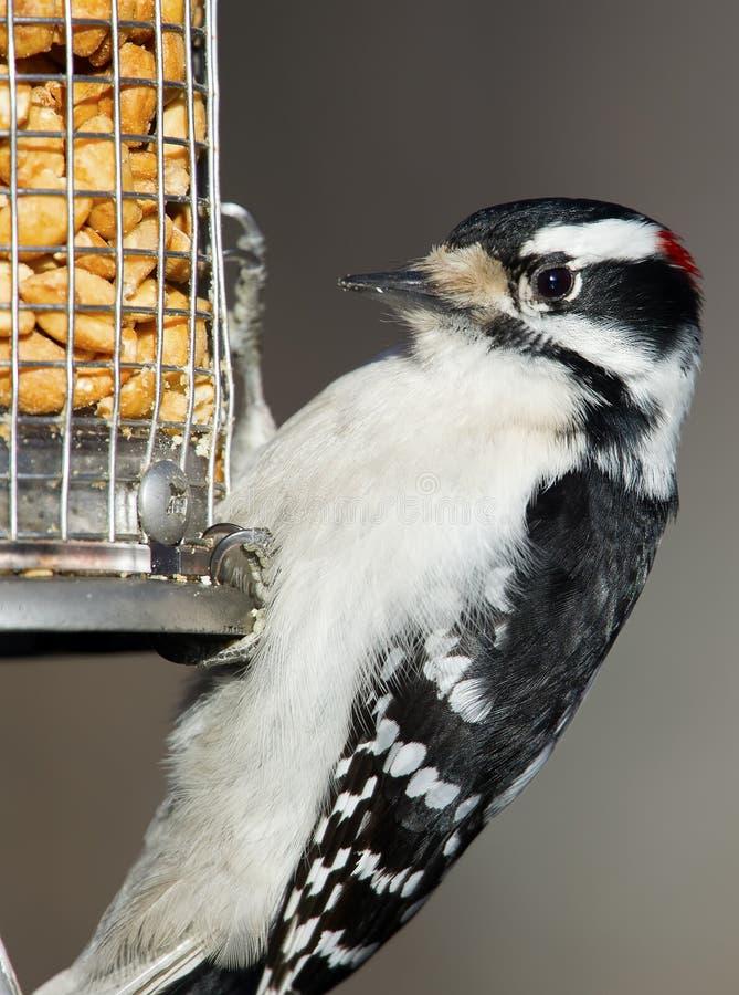 Пуховый Woodpecker на фидере стоковое изображение