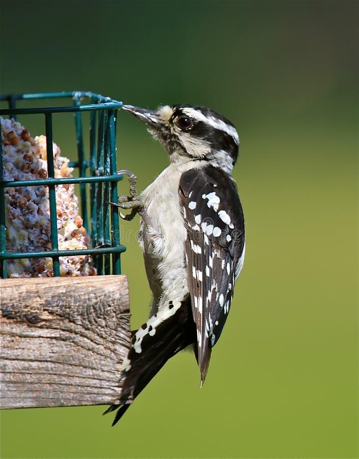 Download пуховый woodpecker стоковое изображение. изображение насчитывающей бактериальных - 15459057