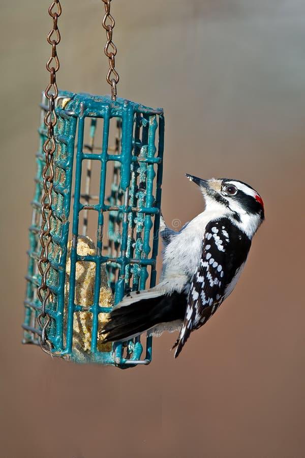 Пуховый Woodpecker стоковые изображения rf