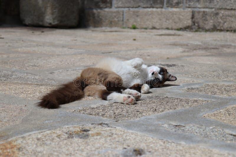 Пушистая завальцовка кота в солнце стоковое фото