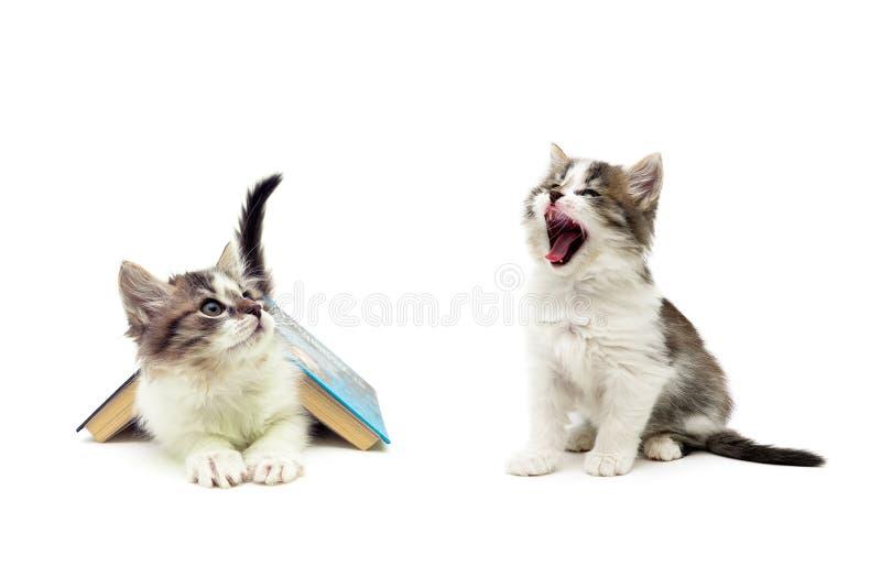 Пушистые котята изолированные на белой предпосылке, стоковое фото rf