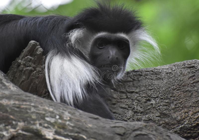 Пушистые меховой Colobus обезьяны конец вверх и личный стоковые изображения rf